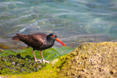 Black Oyster Catcher Stock Images