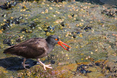 Black Oyster Catcher Stock Image