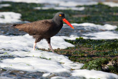 Black Oyster Catcher. A black oyster catcher wades through the foam of the incoming tide looking for its next meal Royalty Free Stock Images