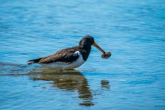 Black oyster catcher stock photography