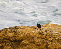 Black Oystercatcher Royalty Free Stock Photos