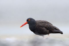 Black Oystercatcher. On beach, low angle view Royalty Free Stock Photo