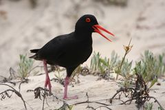 Black Oystercatcher Bird Royalty Free Stock Photo