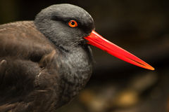 Black Oystercatcher Bird Feathers Bright Red Beak. Black Oystercatcher American Water Bird Black Feathers Red Beak Haematopodidae Bachmani Stock Photo