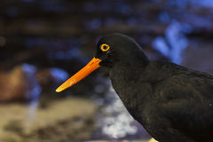 Black oystercatcher bird with orange beak Royalty Free Stock Photos