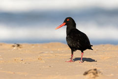 Black oystercatcher bird with red beak Royalty Free Stock Images