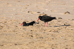 Black oystercatcher birds with red beack. A black oystercatcher showing red ring around the eye and red beak. Haematopus bachmani Stock Image