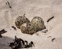 Black Oystercatcher Eggs. Three African Black Oystercatcher eggs in a shallow scrape on a beach in Southern Africa Royalty Free Stock Photos