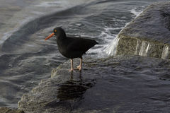 Black Oystercatcher Stock Images