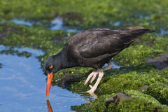 Black Oystercatcher foraging in a California tidal pool. Black Oystercatcher Haematopus bachmani foraging in an ocean tidal pool - San Diego, Calfiornia Stock Image