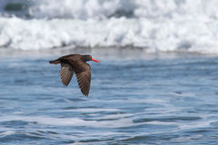Black Oystercatcher (Haematopus bachmani). Flying over the beach by the Pacific Ocean Stock Images