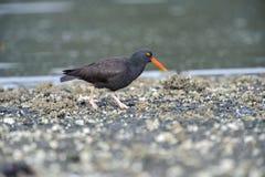Black Oystercatcher (Haematopus bachmani). Brickyards Beach, Gabriola Island , British Columbia, Canada Royalty Free Stock Image