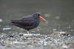 Black Oystercatcher (Haematopus bachmani). Brickyards Beach, Gabriola Island , British Columbia, Canada Stock Image