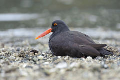 Black Oystercatcher (Haematopus bachmani). Brickyards Beach, Gabriola Island , British Columbia, Canada Royalty Free Stock Photo