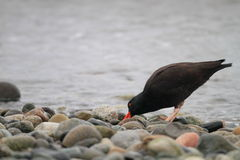 Black Oystercatcher Stock Photo