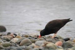Black Oystercatcher. (Haematopus bachmani) in Canada Stock Photo