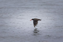 Black Oystercatcher (Haematopus bachmani) Royalty Free Stock Images