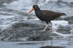 Black Oystercatcher (Haematopus  bachmani) Stock Photography