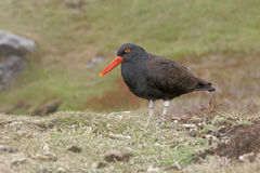 Black oystercatcher, Haematopus bachmani, Royalty Free Stock Photos
