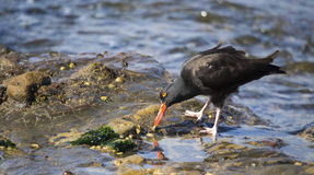 Black oystercatcher (Haematopus bachmani). A single black oystercatcher (Haematopus bachmani) feeds on a tidepool limpet at Point Lobos Reserve on the California Stock Photos