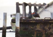 Black Oystercatcher (Haematopus bachmani). Spotted outdoors Stock Photography