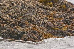 Black Oystercatcher on Oysters. Black Oystercatcher on an Island Near Tofino, British Columbia Stock Photos