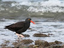 Black Oystercatcher Profile. A Black Oystercatcher looks up while foraging on the Washington Coast Royalty Free Stock Images
