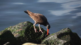Black Oystercatcher on the rocks of the Pacific Ocean stock video footage