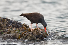 Black Oystercatcher. In search of food in the rocks as saltwater flows by Stock Photography