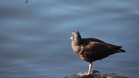 Black Oystercatcher on the shore of the Pacific stock video