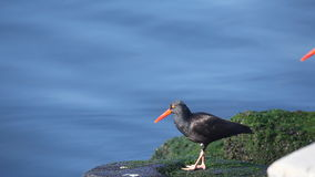 Black Oystercatcher on the shore of the Pacific Ocean stock video