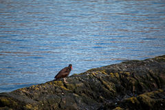 Black Oystercatcher Standing on Rocky Shore Royalty Free Stock Image