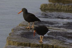 Black Oystercatchers. A pair of black Oystercatchers feeding in the morning light on a coastal shoreline Victoria British Columbia Canada.Nature background Royalty Free Stock Photography