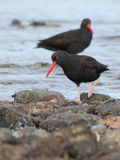 Black Oystercatchers Pair Royalty Free Stock Photo