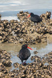 Black oystercatchers. Searching for food stock images