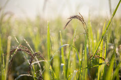 Black paddy rice in field, Thailand. Close up black paddy rice in field, Thailand Stock Photos