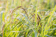 Black paddy rice in field, Thailand. Close up black paddy rice in field, Thailand Royalty Free Stock Photo