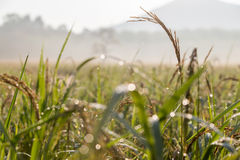 Black paddy rice in field, Thailand. Black paddy rice in field on sunrise, Thailand Stock Photo