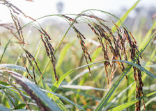Black paddy rice in field, Thailand. Black paddy rice in field on sunrise, Thailand Stock Photos