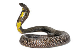 Black Pakistani Cobra Stock Images