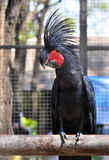Black palm cockatoo. Royalty Free Stock Photo