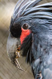 Black palm cockatoo head. Black palm cockatoo red eye socket close up Stock Image