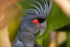 Black Palm Cockatoo Stock Photos
