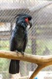 Black palm cockatoo Royalty Free Stock Photography