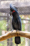 Black palm cockatoo Stock Photo