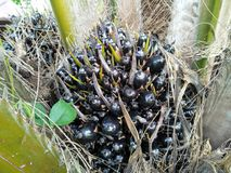 Black palm fruit. The fruit of the palm tree is very hard. Variety Since very young Royalty Free Stock Photography