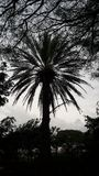 Black Palm. Palm tree darkened by oncoming evening Stock Photos