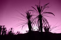 Black palm trees in the desert in front of violet sunset, Morocco, Africa stock photography