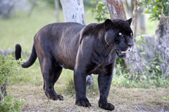 Black panther. In the woods Royalty Free Stock Photo