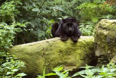 Black Panther. (Panthera Melanistic)resting on rocks Stock Images